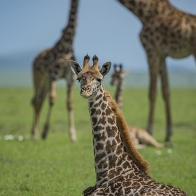 Giraffes in the Maasai Mara National Reserve, Kenya. Evidence suggests that giraffe populations are plummeting, along with numerous other vertebr...