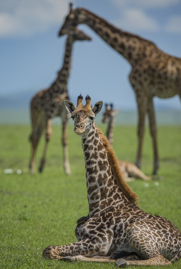 Resting giraffes by davidianhiggins - Image Of The Month Photo Contest Vol 18
