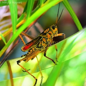 Every year we get visited by these really colorful grasshoppers in my garden! i absolutely love capturing them