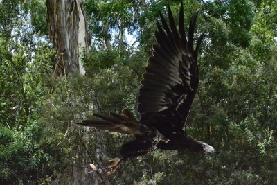 The Graceful Wedge Tail Eagle