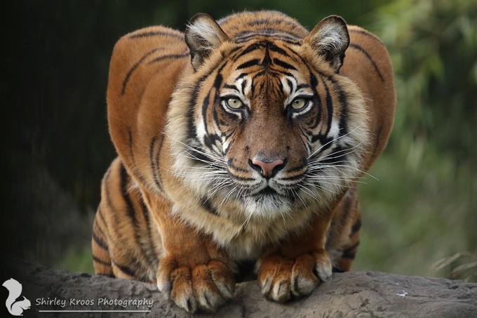 Sumatran Tiger by Daisy87 - Wildlife Photo Contest 2017