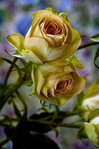Pair of Yellow Spray Roses 0104