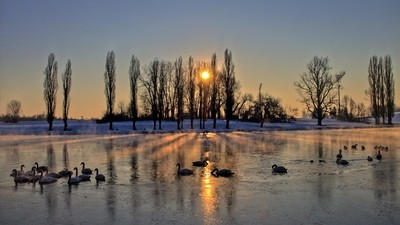 Swans in the frozen river
