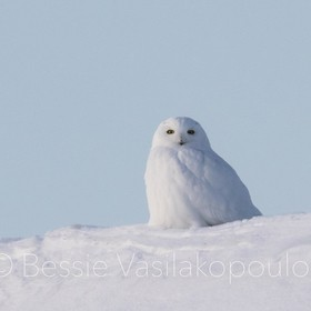 Snowy owl on top of a snow covered barn. It was so cold on Sunday.