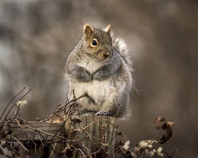 Einstein the Squirrel on the Fence-198