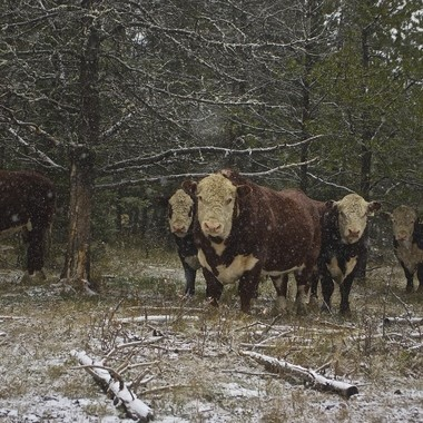 Cows out in the Canadian snowfall.