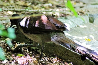 Lyre bird , forest floor , avian , nature , wild , walking, beauty in nature, brown , feathers,