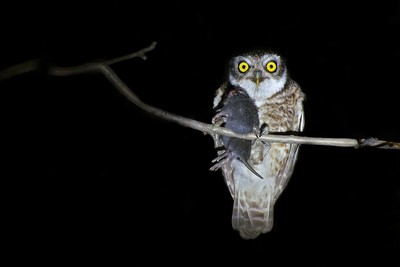 Spotted Owlet with prey