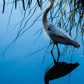 Blue Heron and Reflection