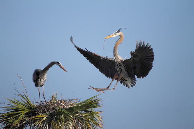 Nest building Blue Herons