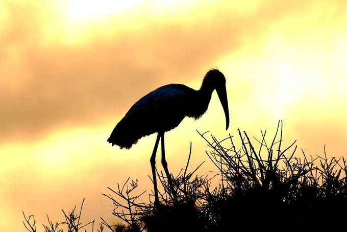 Wood Stork Sunrise (2)