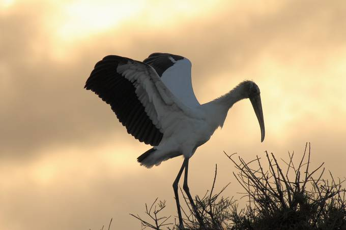 Wood Stork at sunrise