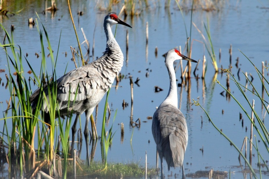 Male (left) and female Sandhill Cranes