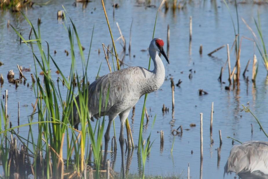 Sandhill Crane, Florida resident