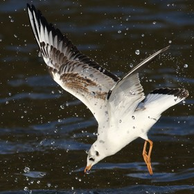 Diving ducks below send up water jets to protect their fishing area. High resolution catch with a powerful new lens.