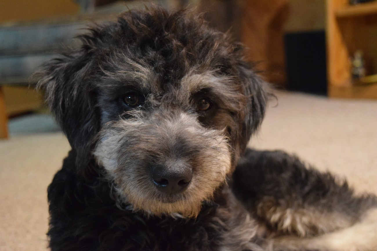 Jude the poodle mix..possibly a schnoodle. Isn't he cute?