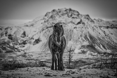 Horse in January Iceland
