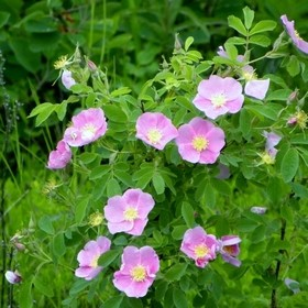 Wild Roses that grow everywhere in Alberta.  They are the official flower of the province.