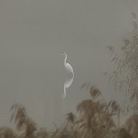 An idyllic moment on a misty morning with  a Great White Egret.
