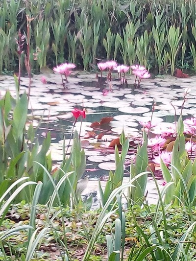 a small water Lilly pond in fog....