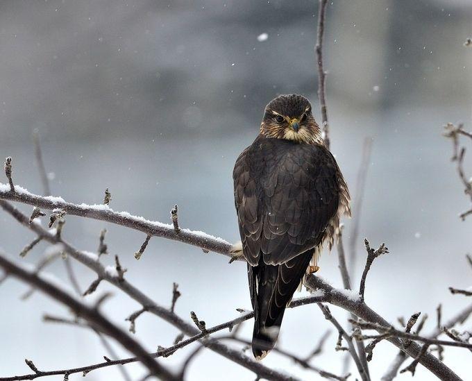 Winter Merlin by jamieburris - My Best Shot Photo Contest Vol 3