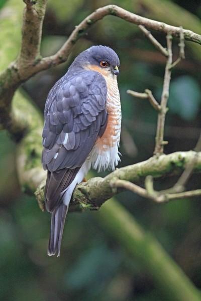 Male Sparrowhawk in my garden December 6 2016.