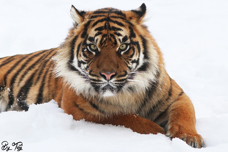 And I love photographing Tigers in the snow... :D