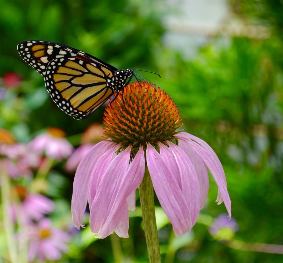 I captured this butterfly resting on the flower.