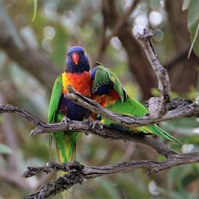 Rainbow Lorikeets... Mother and child