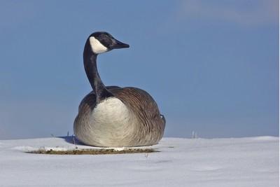 Canada Goose in Snow