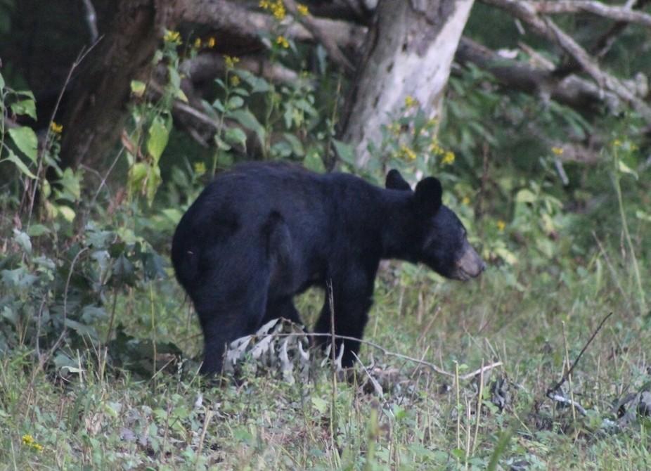 Young bear GSM