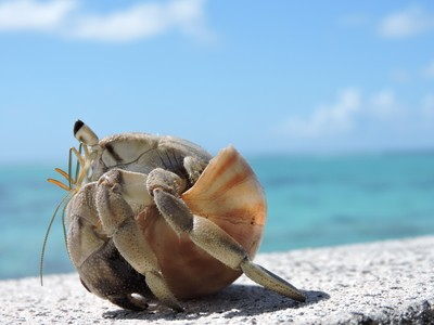Hermit Crab in Snail Shell 2