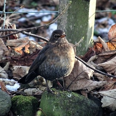 On a winter walk ,always on the look out for my favourite subject so happy to capture this proud looking blackbird .