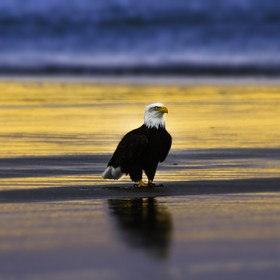 Down at the beach in Gearhart, Or. Seafood was on the menu for this eagle's dinner!
