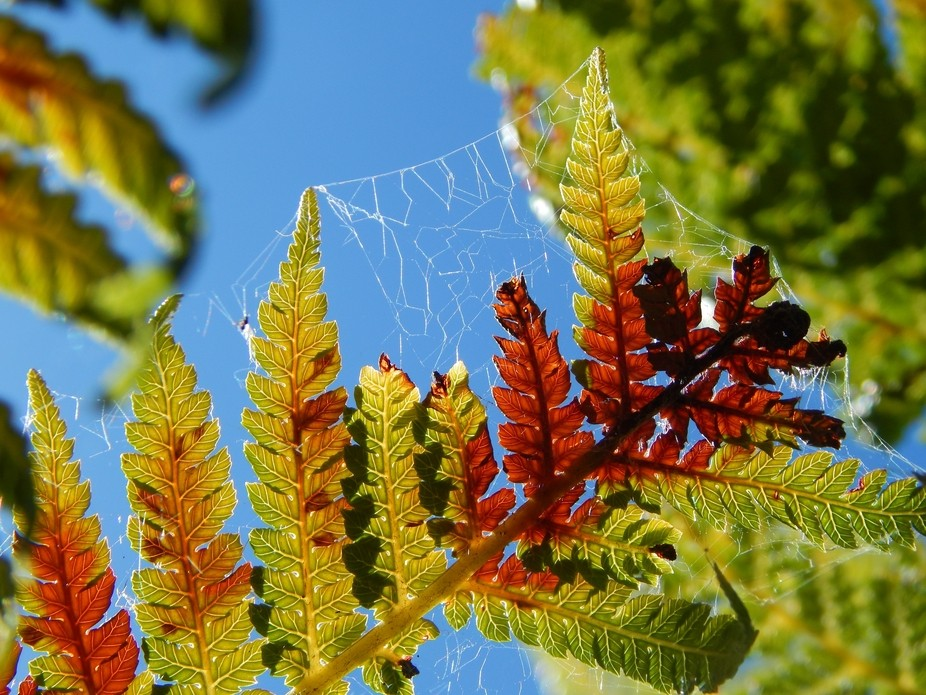 after a series of hot days the fern has been burnt by the sun revealing a beautiful red against t...