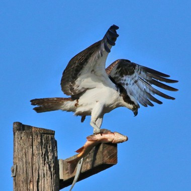 Osprey with fish IMG_4962