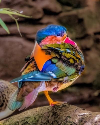Colorful Mandarin Duck Posingl
