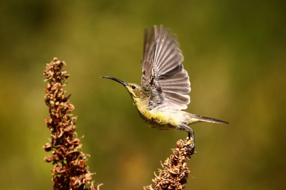 The Malachite Sunbird