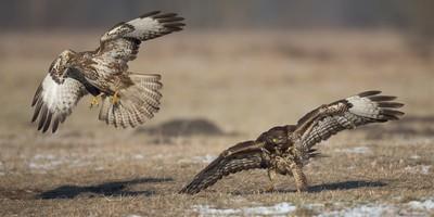 fighting buzzards