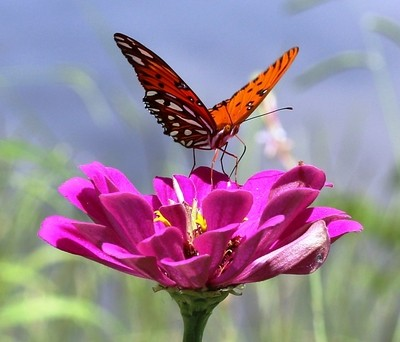 Monarch Butterfly posing on flower