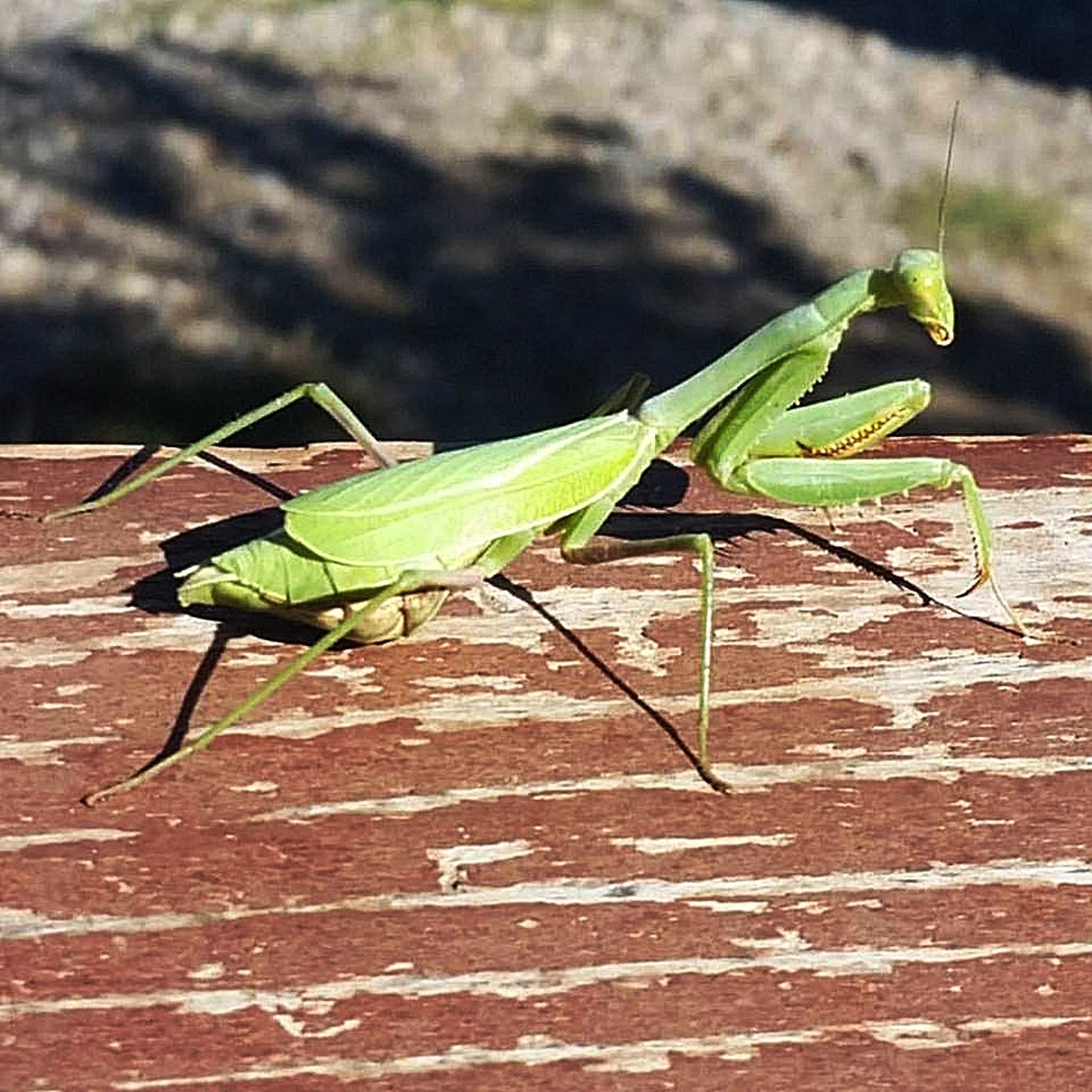 This praying mantis was on our deck in Aztec, New Mexico on September 22, 2016.