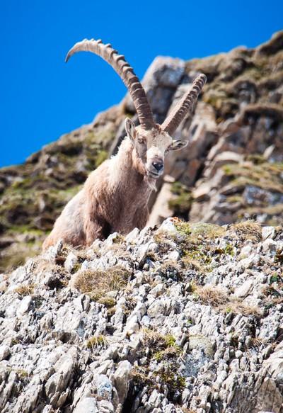 Ibex in the Swiss Alps, Appenzellerland, Switzerland