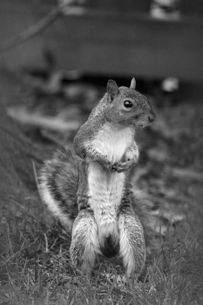BW Squirrel Standing