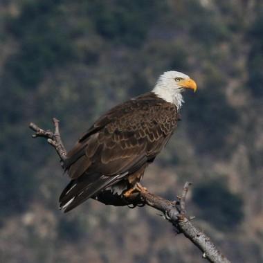 Bald Eagle, male, papa