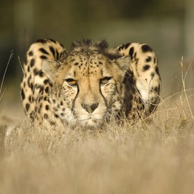 Captive bred male Cheetah (Acinonyx jubatus).  Moja is part of an international breeding program helping this species with genetic diversity. Hab...