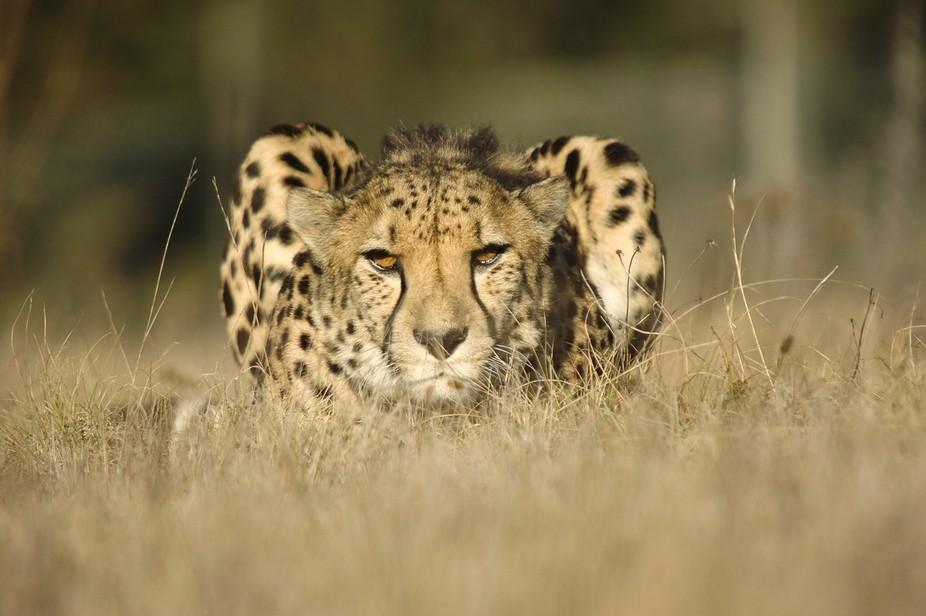 Captive bred male Cheetah (Acinonyx jubatus).  Moja is part of an international breeding program ...