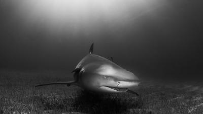 Shark B&W