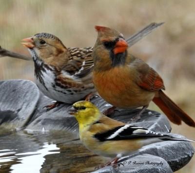 Female Northern Cardinal & a Male House Sparrow