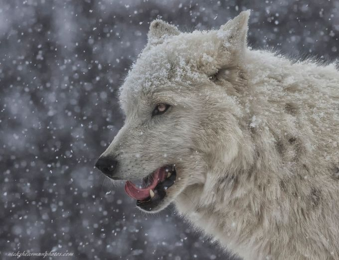 _MG_6872-snow day-nickshearmanphotos.com by nshearman - Wolves Photo Contest