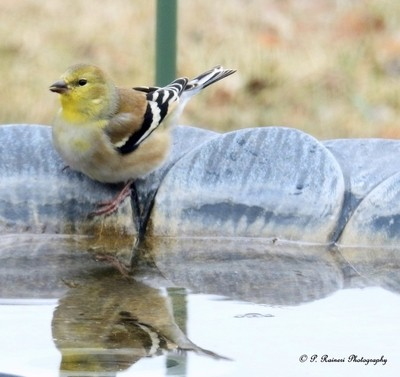 American Goldfinch copy